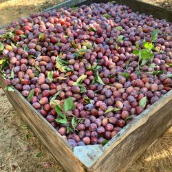 Square photo of a barrel of plums before they get dried