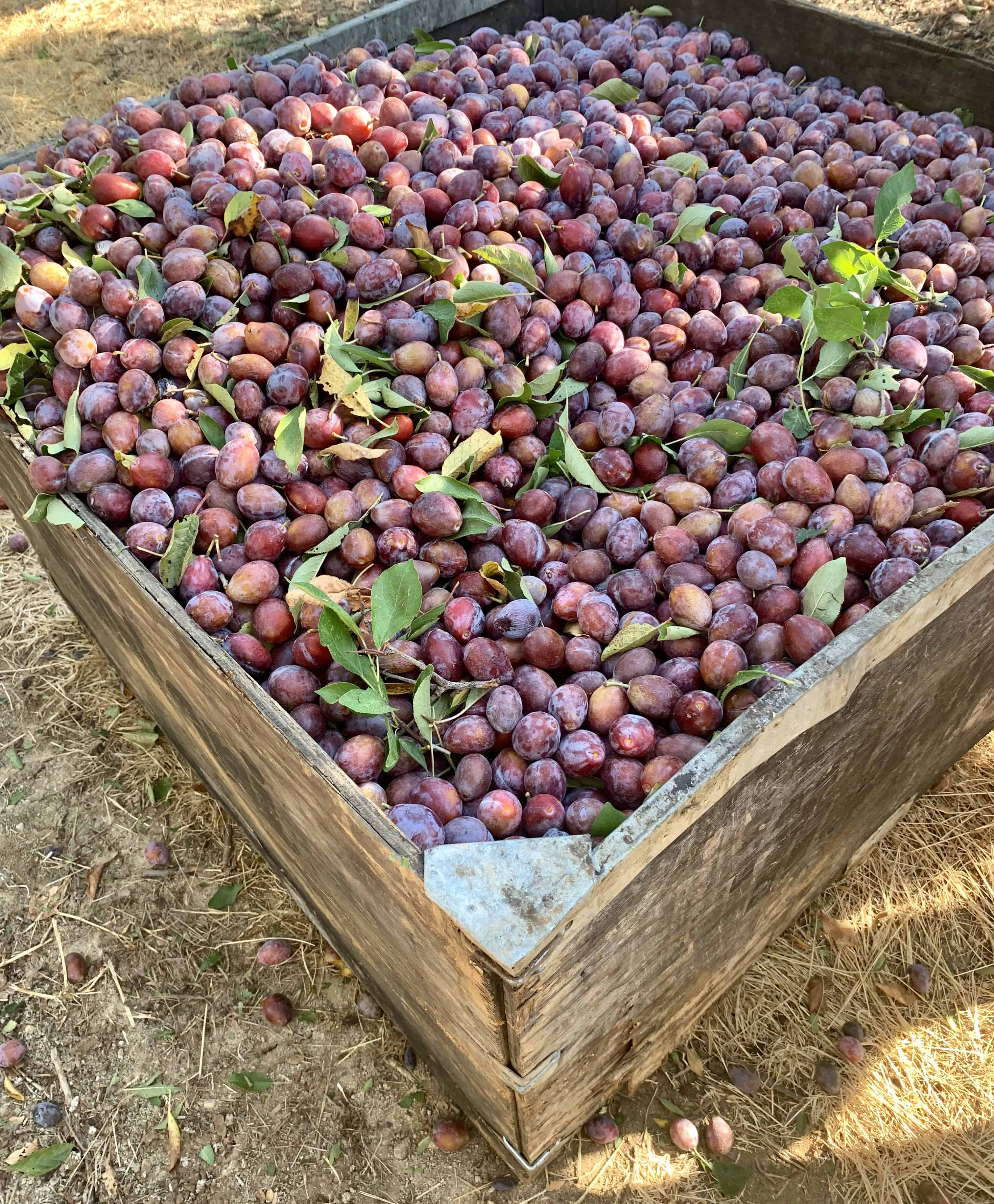 A full bin of freshly harvested prunes.